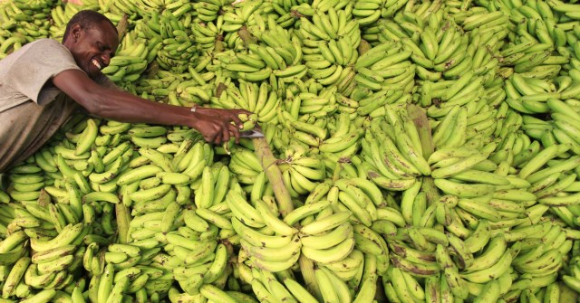 Building the banana chain in Somalia