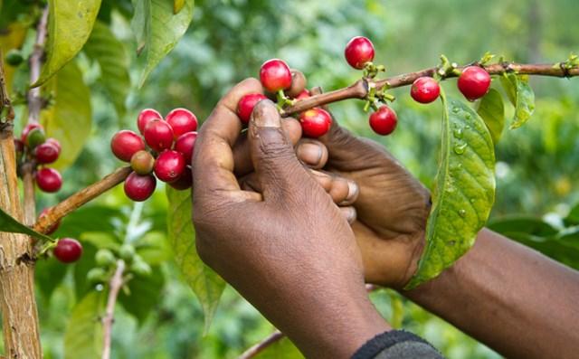 South Sudan Arabica Coffee Land Race Survey in Boma
