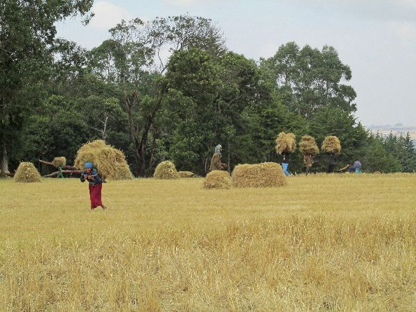 Business Plan for a Commercial Teff Farm in Ethiopia